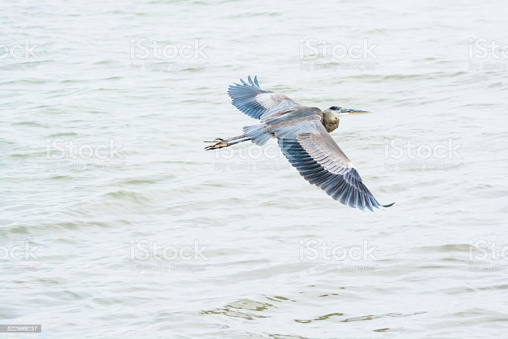 Great Blue Heron Flying Over Water stock photo
