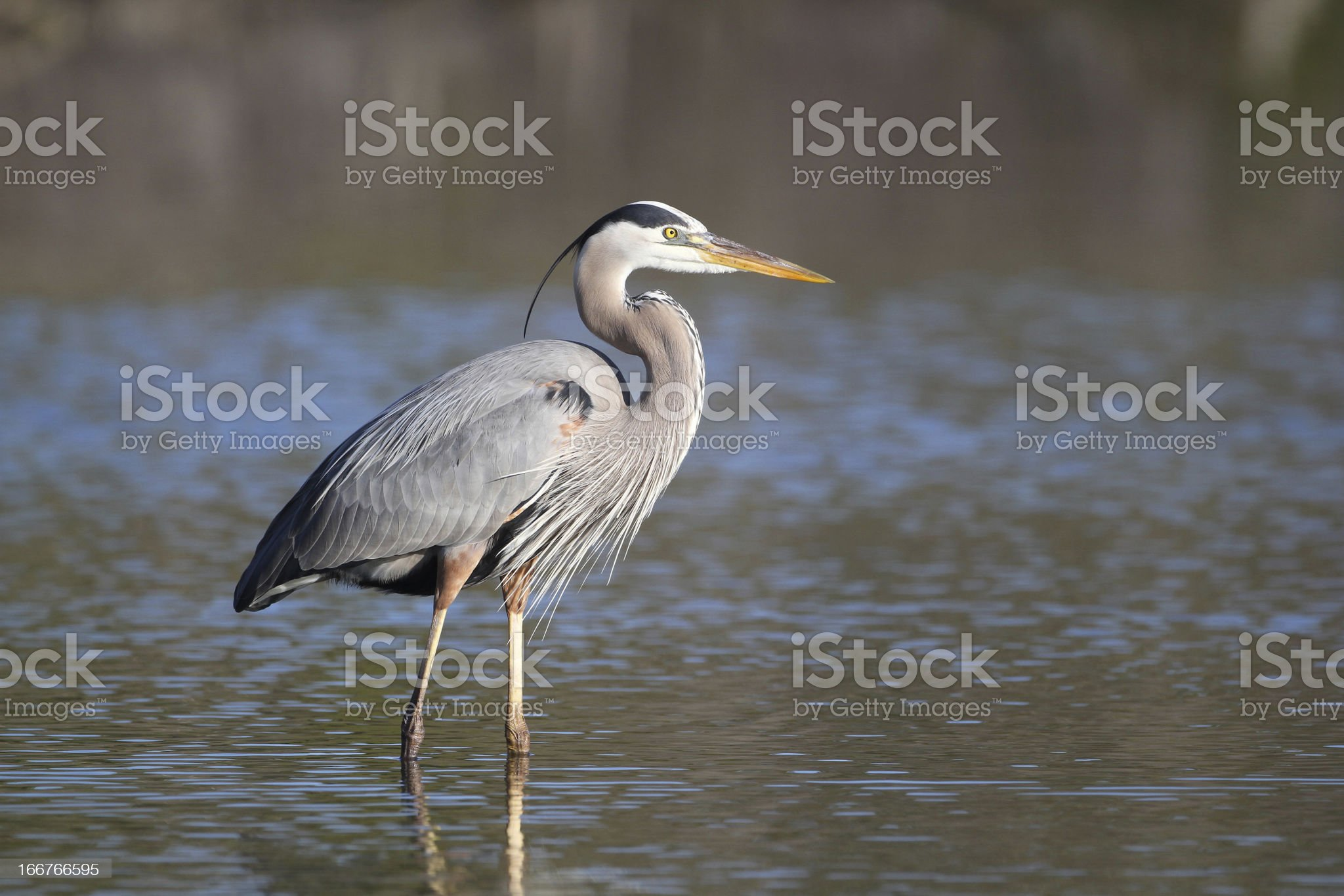 Great Blue Heron - Fort Myers Beach, Florida royalty-free stock photo