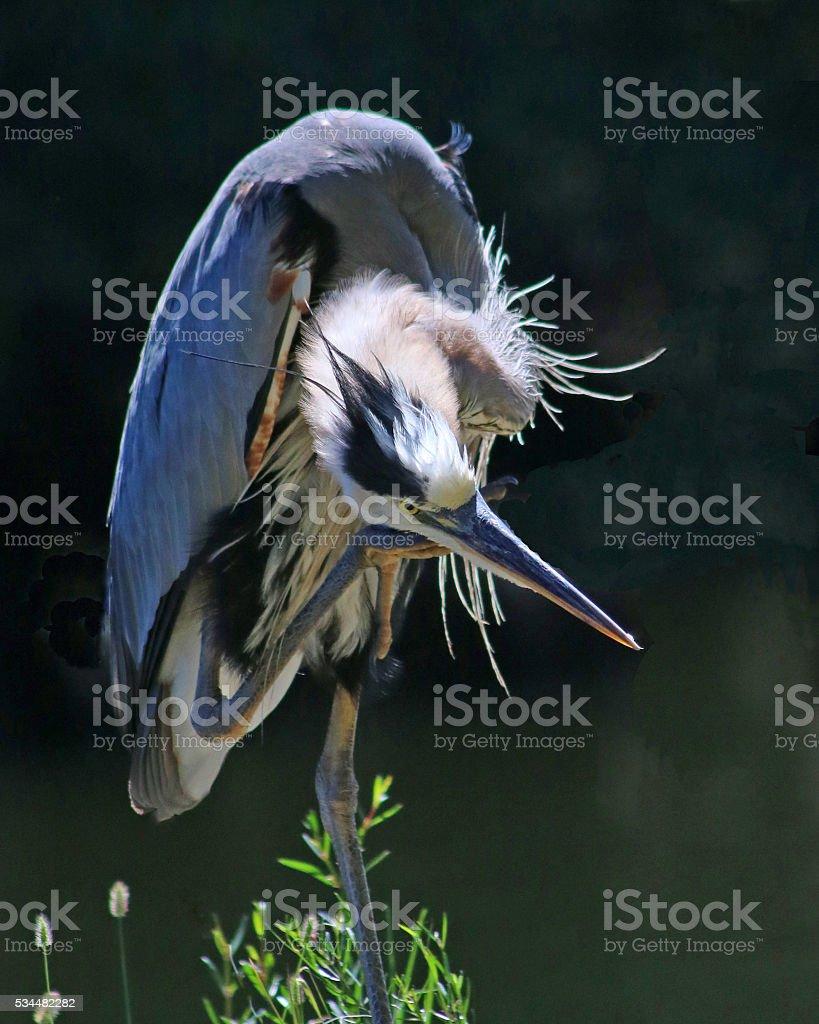 Great blue heron grooming photo libre de droits