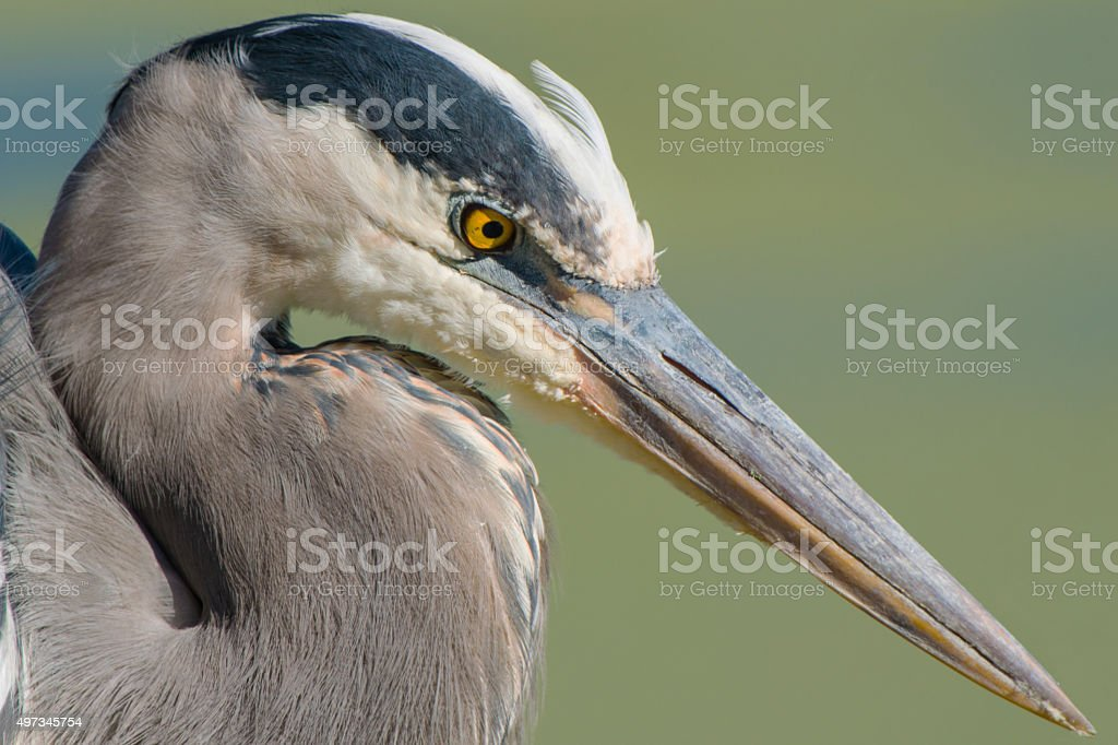 Great Blue Heron Head Shot stock photo