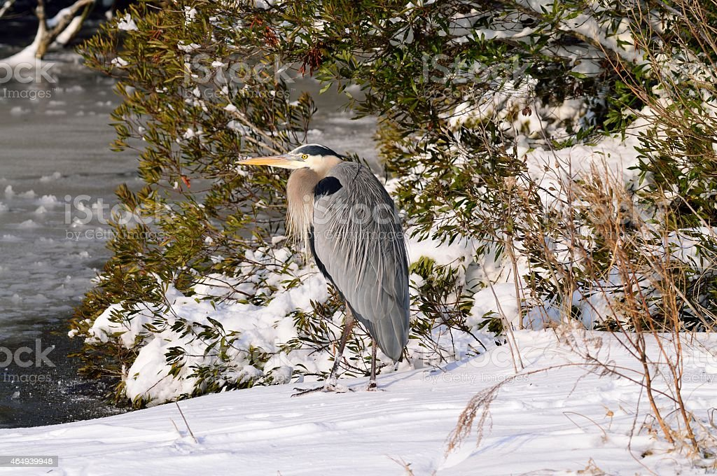 Great Blue Heron Huddled In Snow stock photo