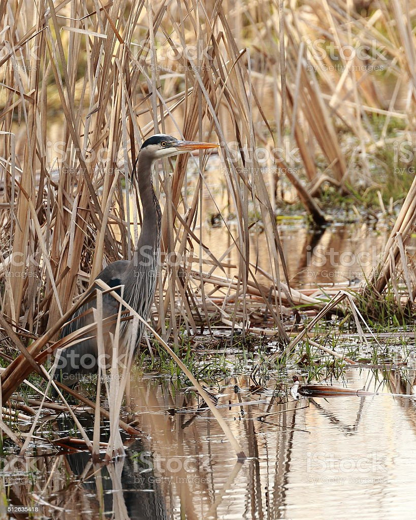 Great blue heron hunting through cattails stock photo