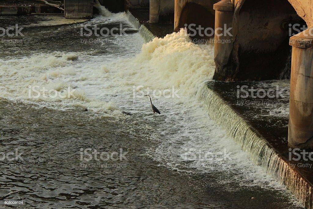 Great Blue Heron hunts in Flint River stock photo