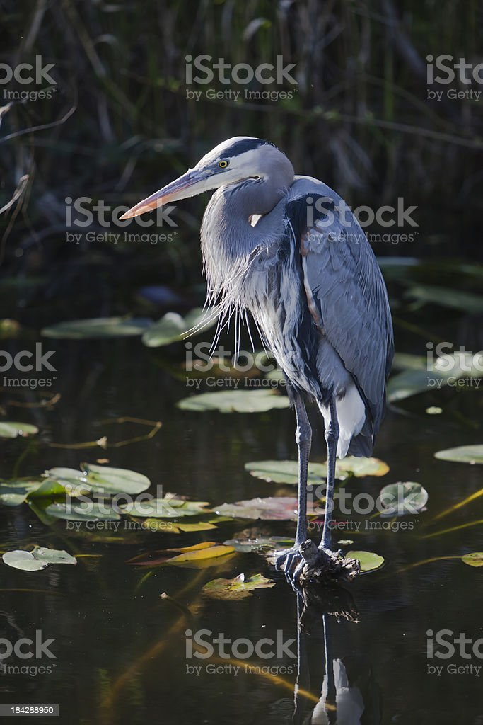 Great blue heron in a lily pond stock photo