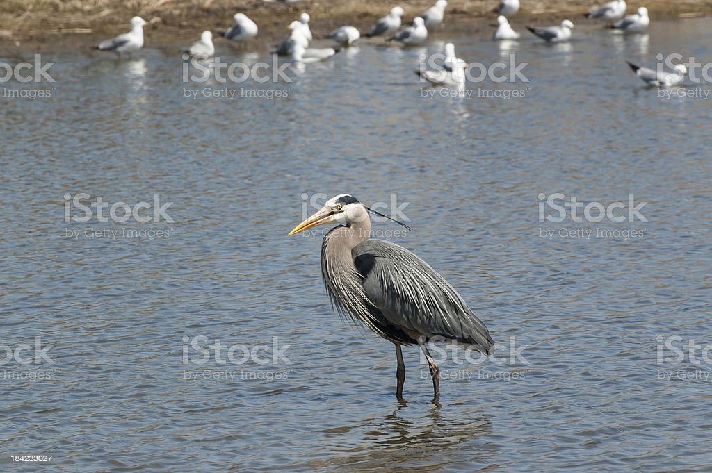 Great Blue Heron in a Pond with Gulls royalty-free stock photo