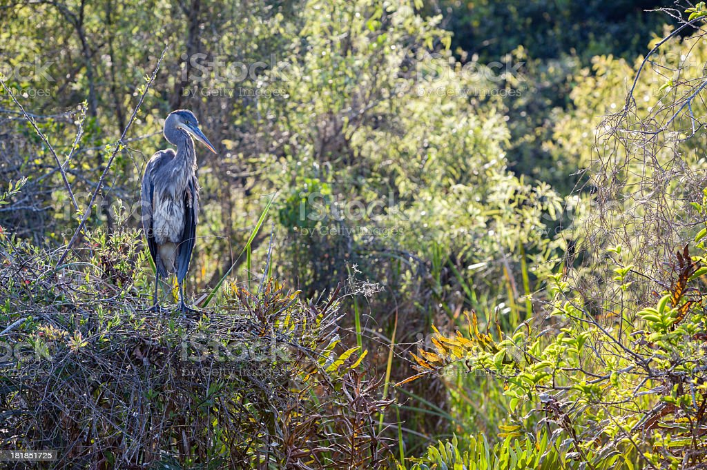 Great Blue Heron in Everglades royalty-free stock photo