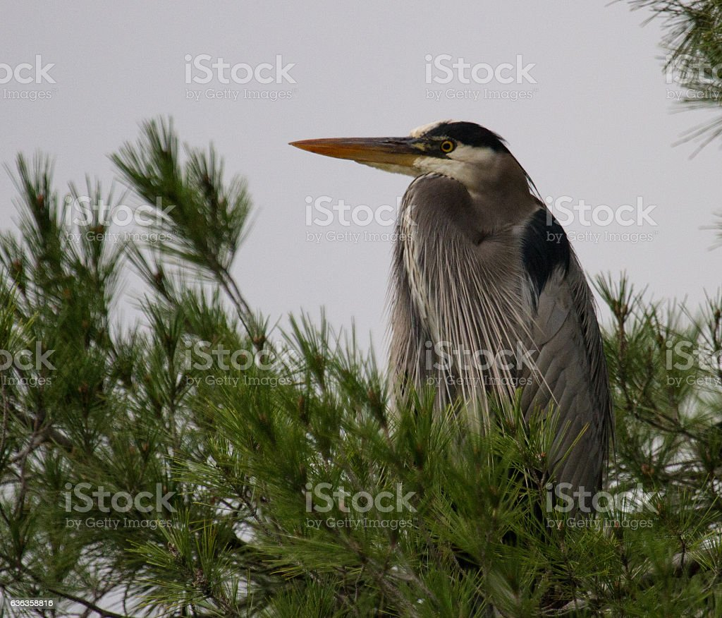 Great Blue Heron in Tree stock photo