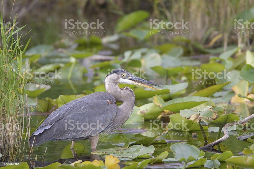 Great Blue Heron in Wetland royalty-free stock photo