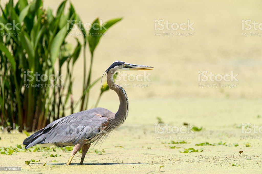 Great Blue Heron in wetland royalty-free stock photo