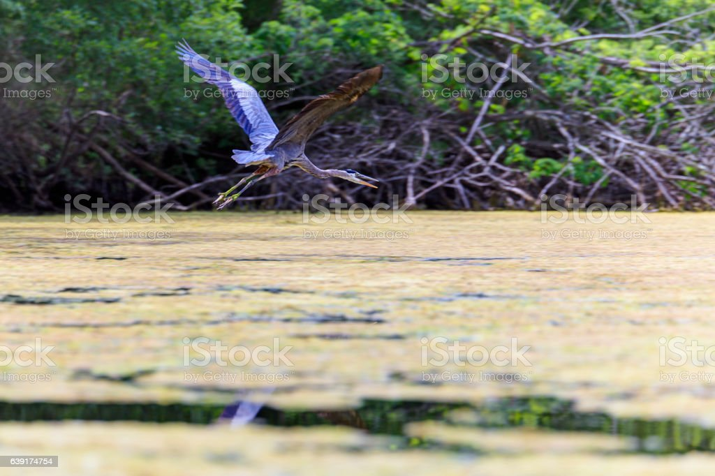 Great Blue Heron ion flight over Chicago River stock photo