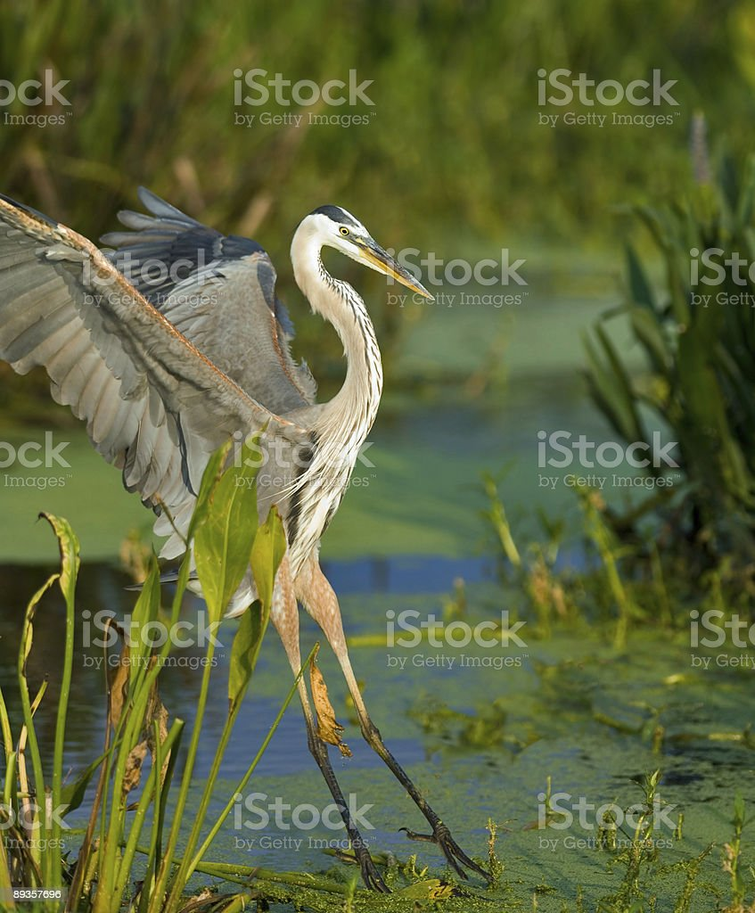 great blue heron landing in marsh pond royalty-free stock photo