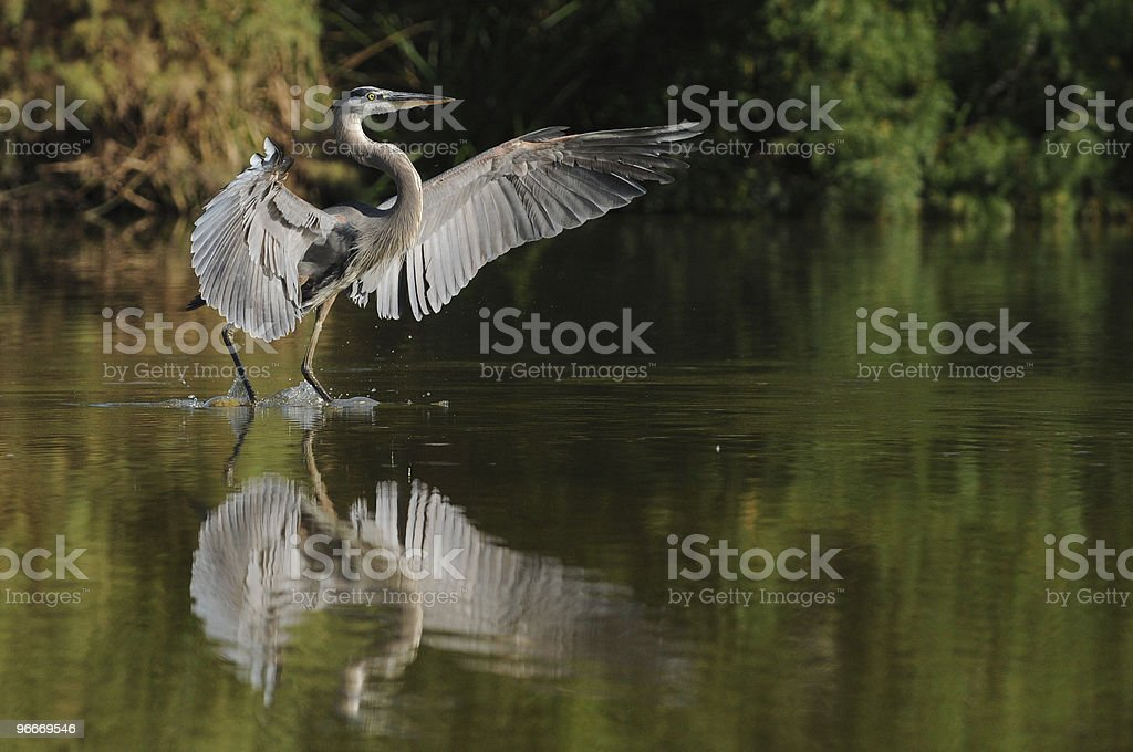 Great Blue Heron Landing Reflected in Water stock photo