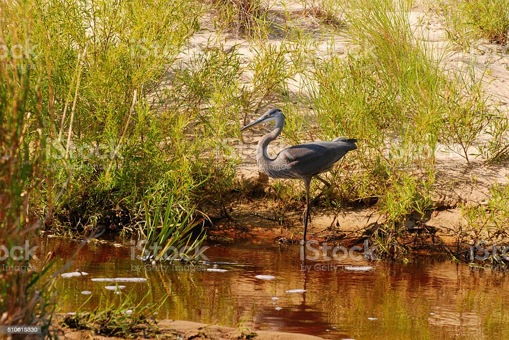 Great Blue Heron on the morning hunt, Indiana Dune, USA stock photo