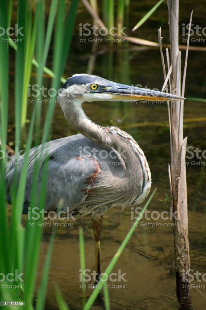 Great Blue Heron on the Prowl stock photo