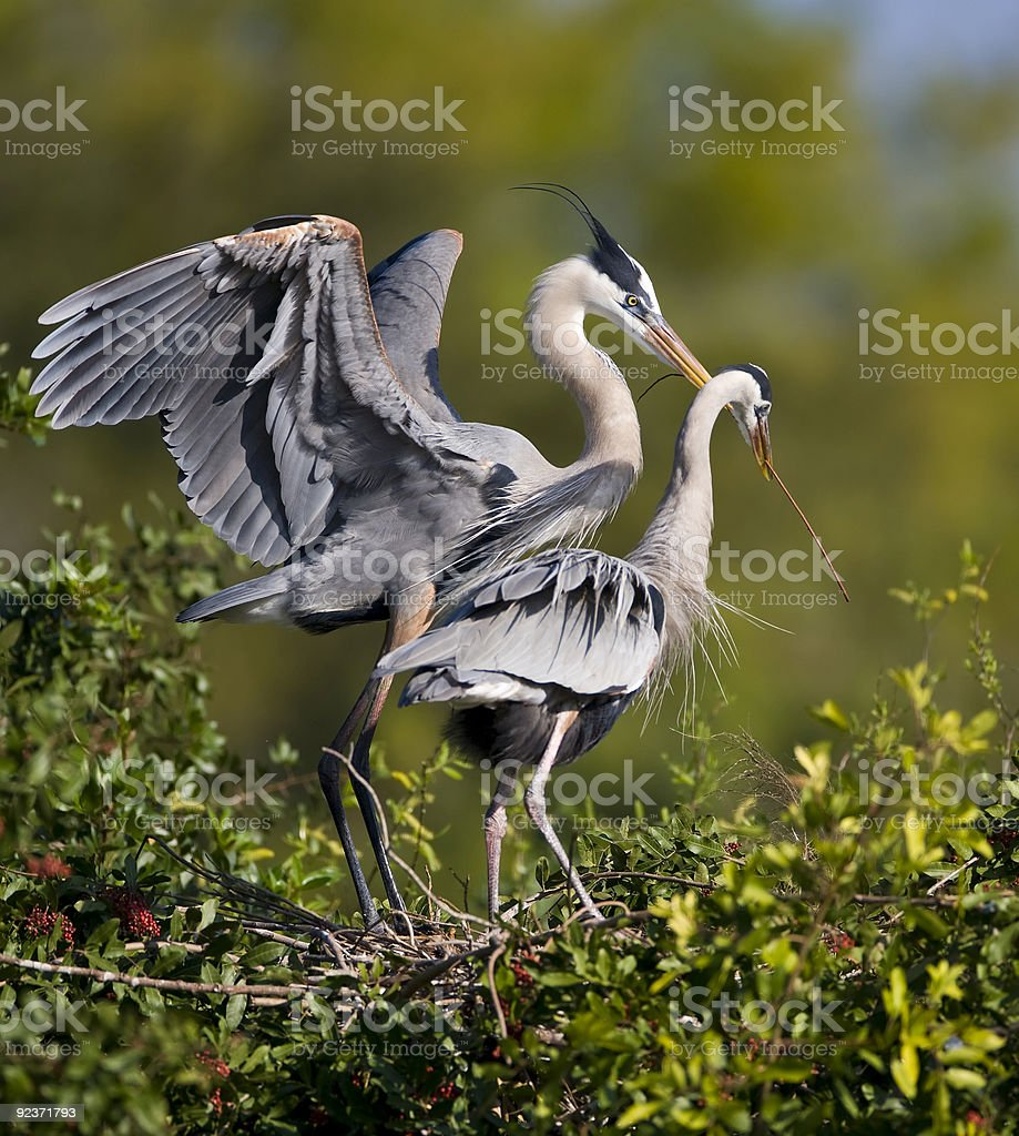 Great Blue Heron pair in mating ritual stock photo