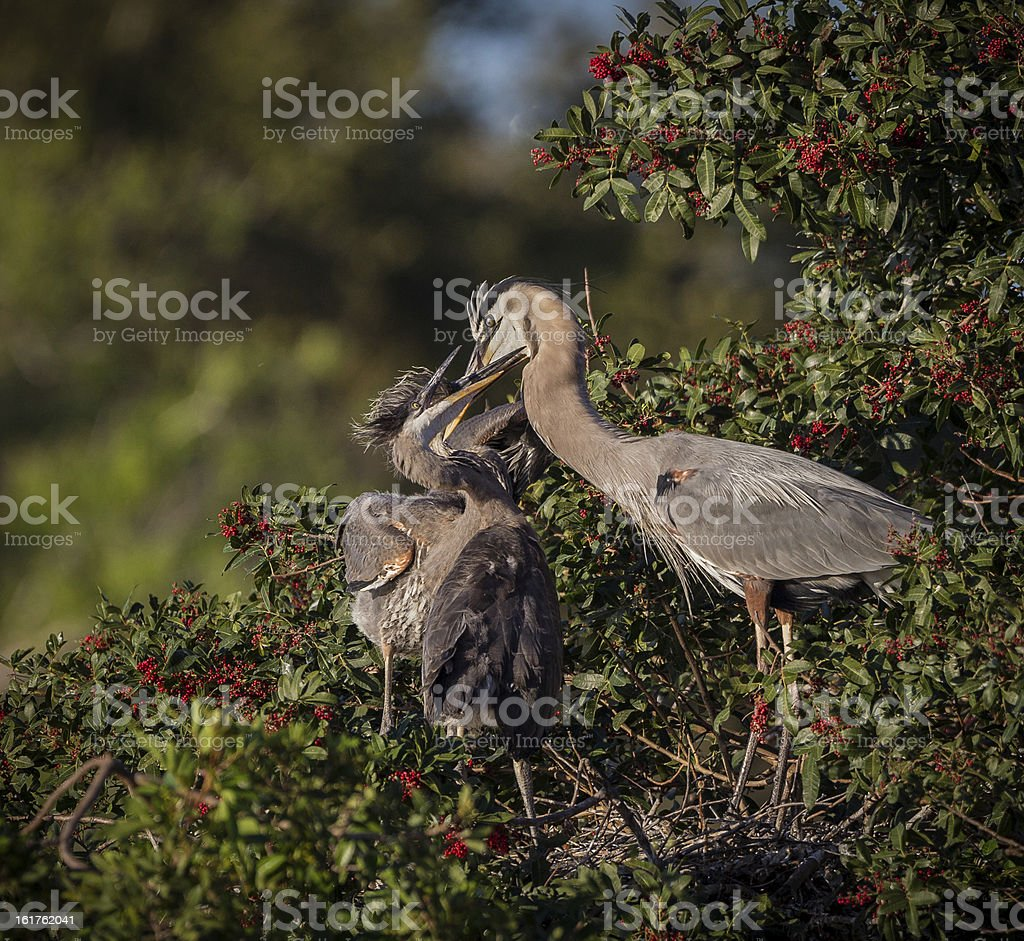 Great blue heron parent feeding young royalty-free stock photo