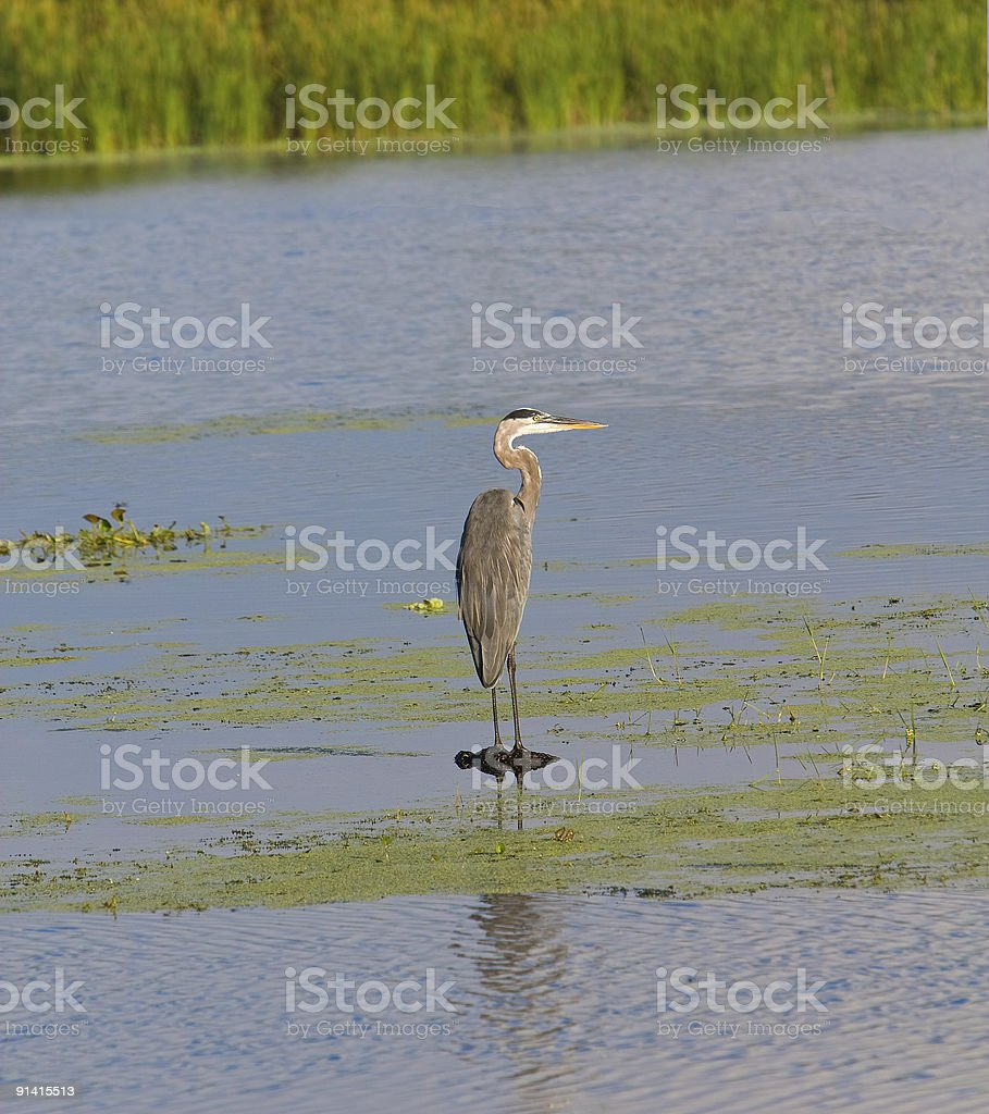 Great Blue Heron Perched On Lake stock photo