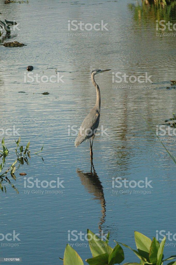 Great Blue Heron royalty-free stock photo