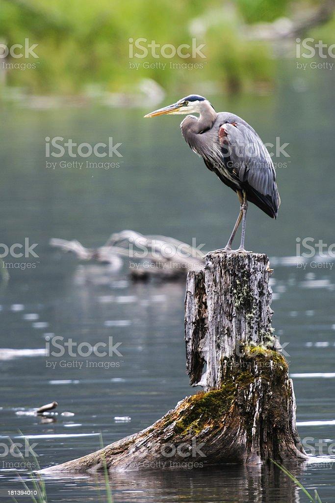 Great Blue Heron (Ardea herodias) stock photo