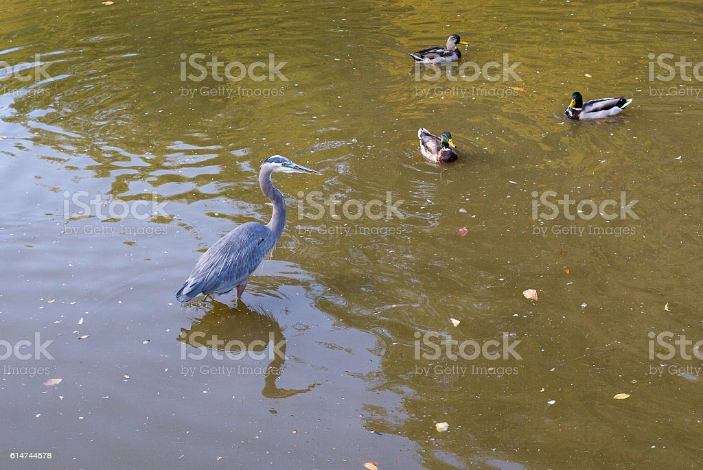 Great Blue Heron. royalty-free stock photo