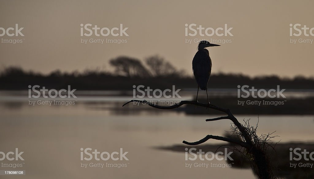 Great blue heron, profiled on evening sky royalty-free stock photo