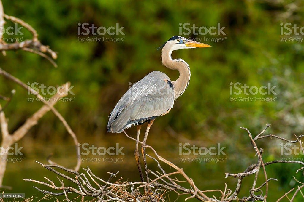 Great Blue Heron scans surroundings stock photo