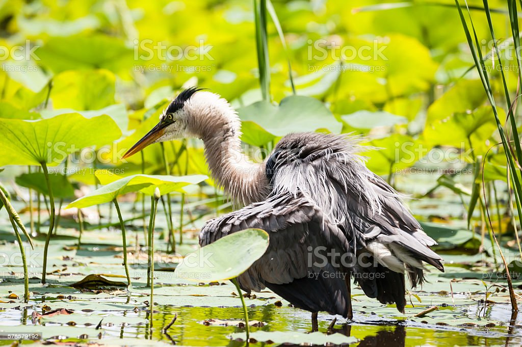 Great Blue Heron shaking it's feathers stock photo