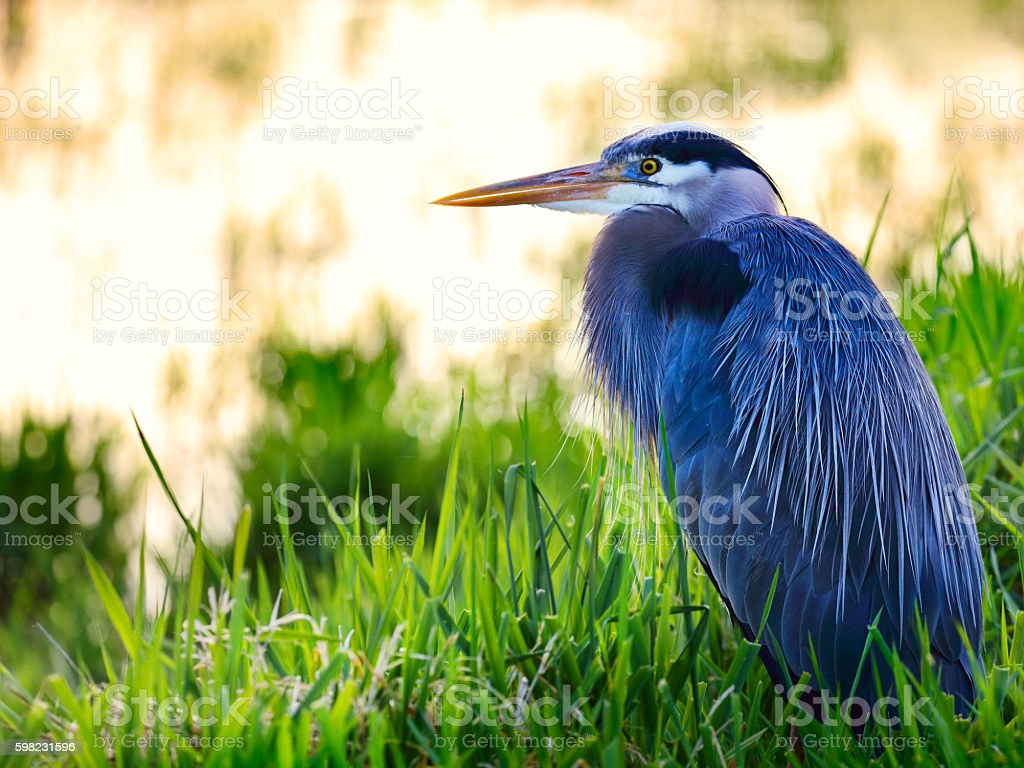Great blue heron (Ardea herodias) sitting in a lake stock photo