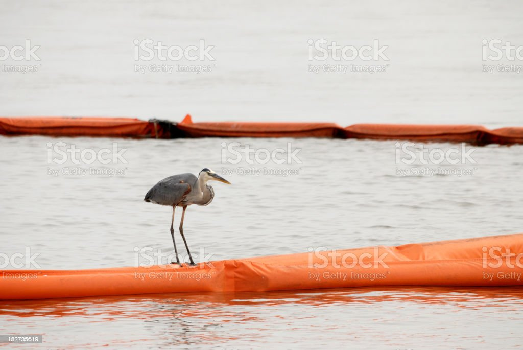Great Blue Heron Sitting on Oil Boom royalty-free stock photo