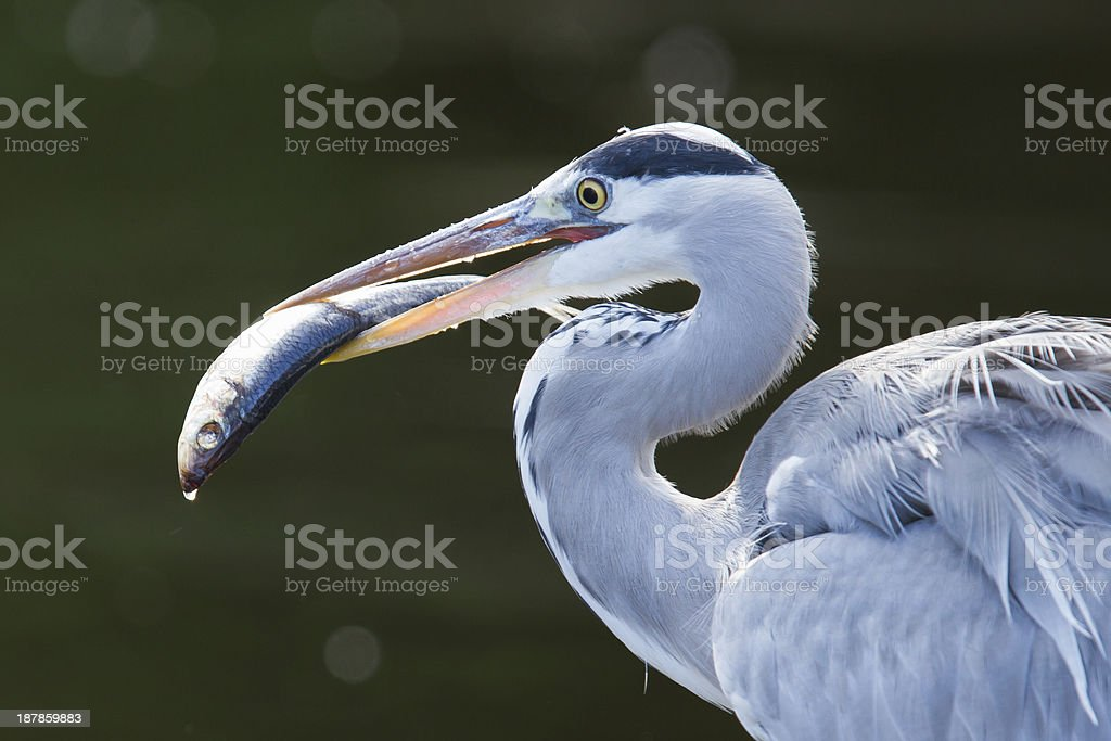 Great blue heron spears a fish stock photo
