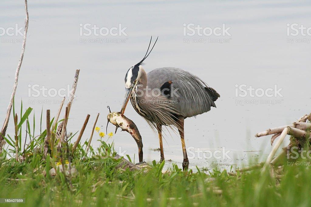 Great Blue Heron Stabbing a Large Fish stock photo