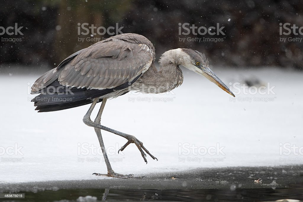 Great Blue Heron Stalking its Prey on Partially Frozen River royalty-free stock photo