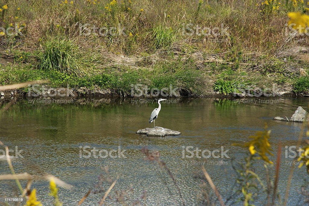 Great Blue Heron standing in a river royalty-free stock photo