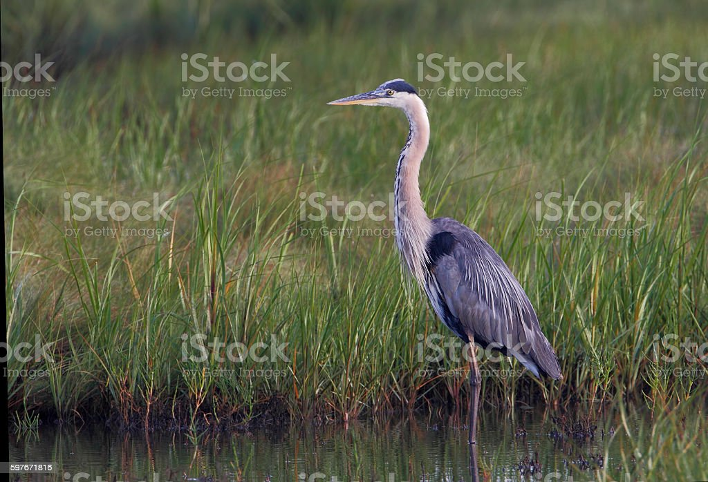 Great blue heron (Ardea herodias) standing, New Jersey, USA stock photo