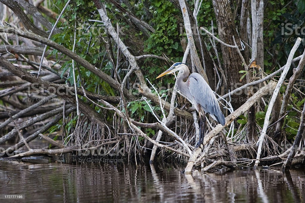 Great Blue Heron standing on a branch above water royalty-free stock photo
