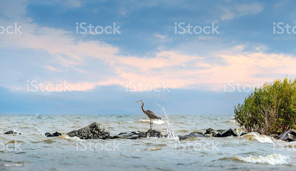 Great Blue Heron standing on jetty with water splashing stock photo
