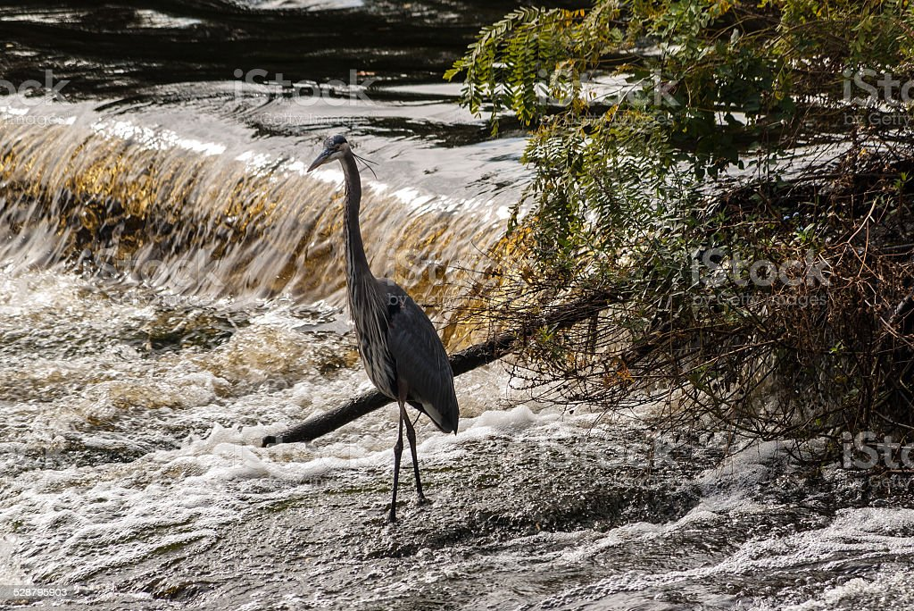 Great Blue Heron stands in water over a small dam stock photo