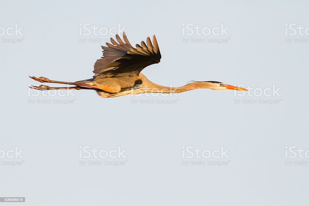 Great Blue Heron stretched out in flight stock photo