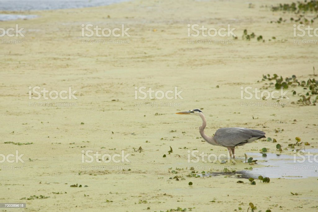 Great blue heron wading in a swamp in Christmas, Florida. stock photo