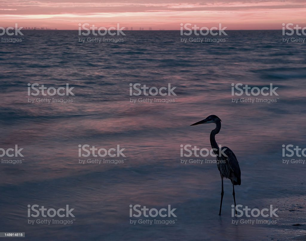 Great Blue Heron Wading In Ocean At Sunrise royalty-free stock photo