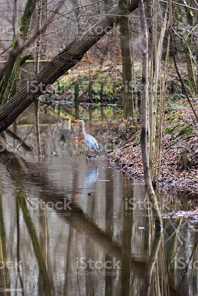 Great blue heron wading on waterside in a forest royalty-free stock photo