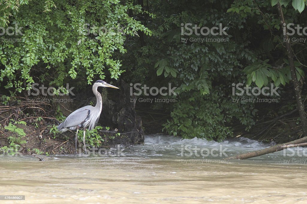Great Blue Heron Wading royalty-free stock photo