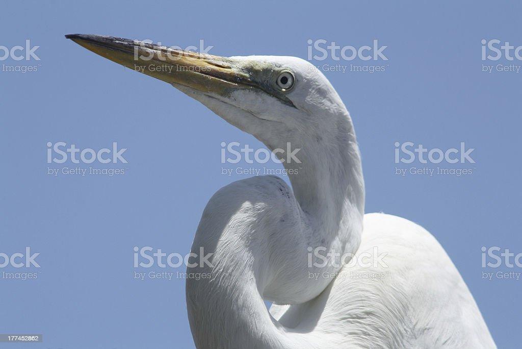 Great Blue Heron White Phase royalty-free stock photo