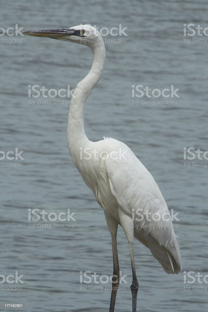 Great Blue Heron White Phase royalty-free stock photo