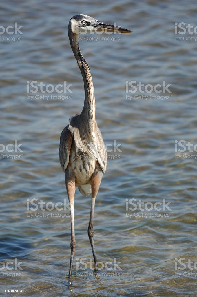 Great Blue Heron with bloody beak royalty-free stock photo