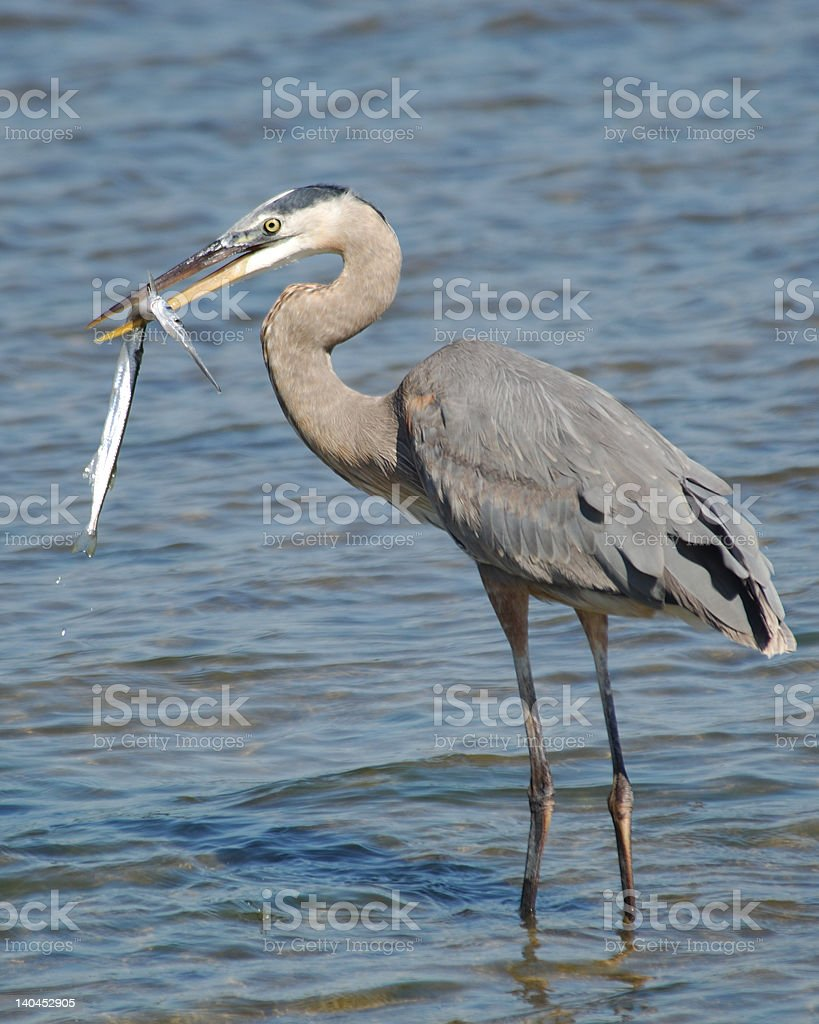 Great Blue Heron with fish - Image # 1 royalty-free stock photo