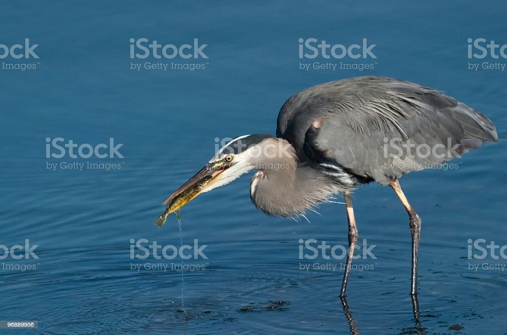 Great Blue Heron with Fish in Beak royalty-free stock photo