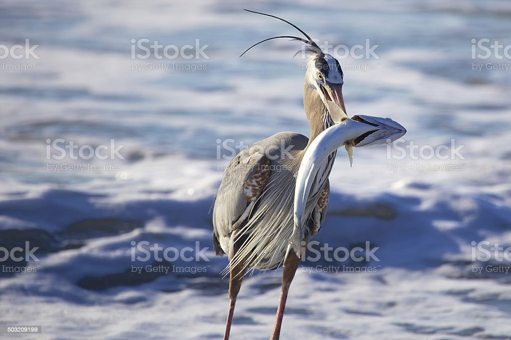 Great Blue Heron with it's Catch of the Day stock photo
