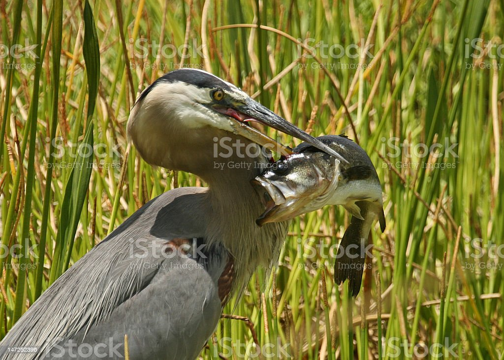 Great Blue Heron with Largemouth Bass royalty-free stock photo