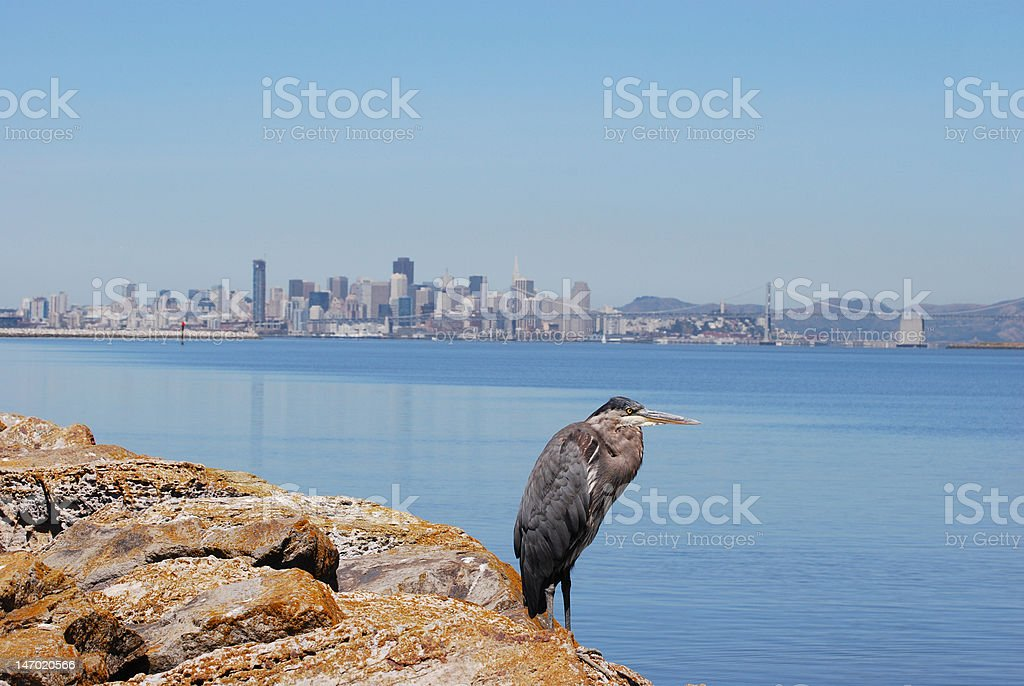 Great Blue Heron with San Francisco Background stock photo